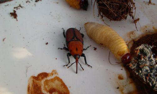 """punteruolo rosso della palma """"Rhynchophorus ferrugineus"""""""